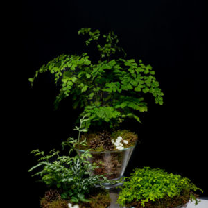 Mixed fern collection