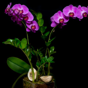 Pink Orchid in glass cube