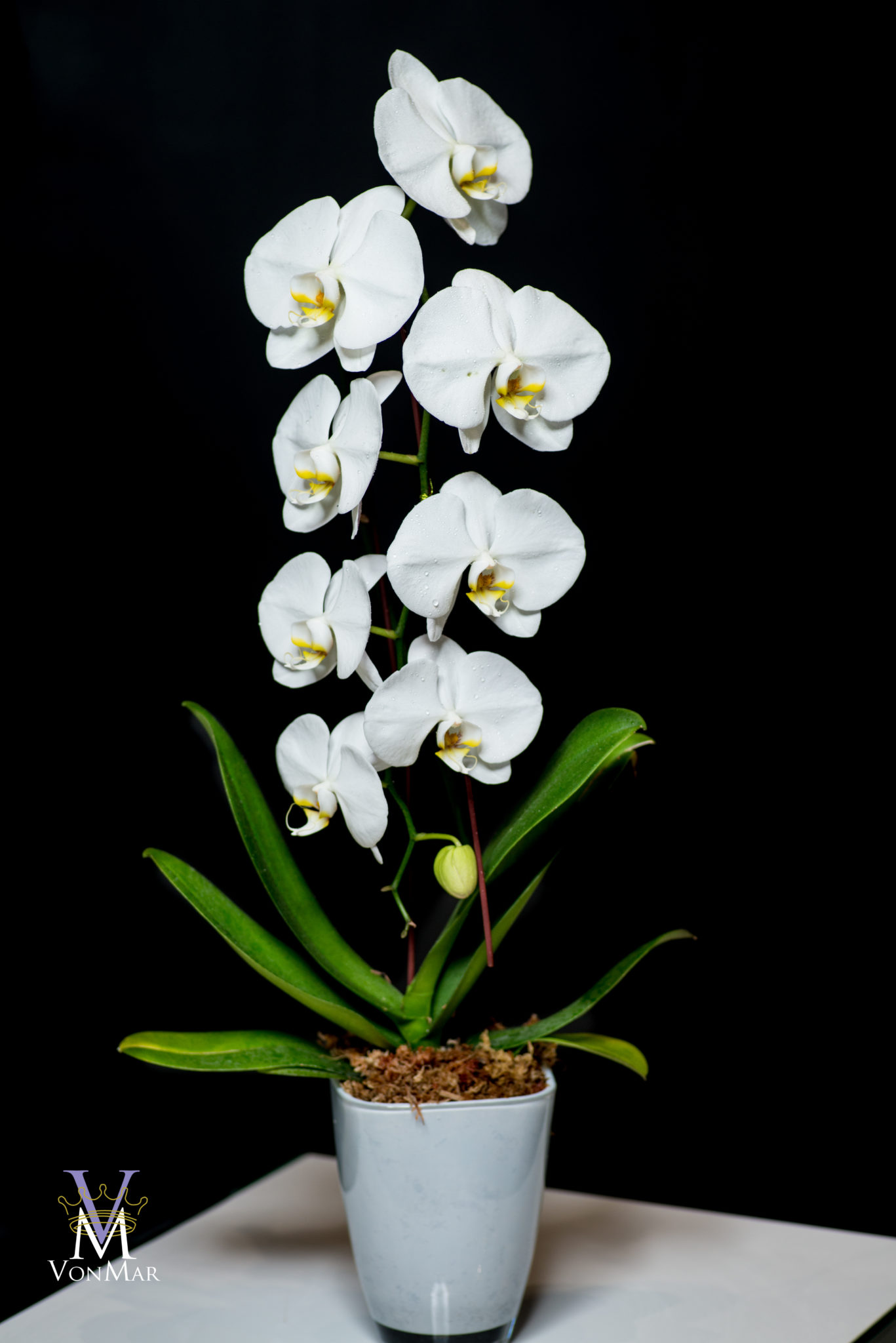 Waterfall Orchid in Glass